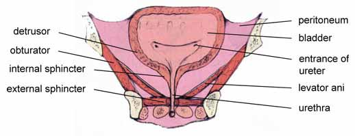 Bladder showing the detrusor muscle of the bladder