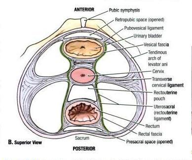 Ligaments of the Pelvic Floor