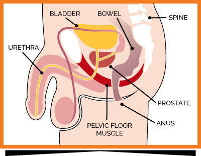 male pelvic floor